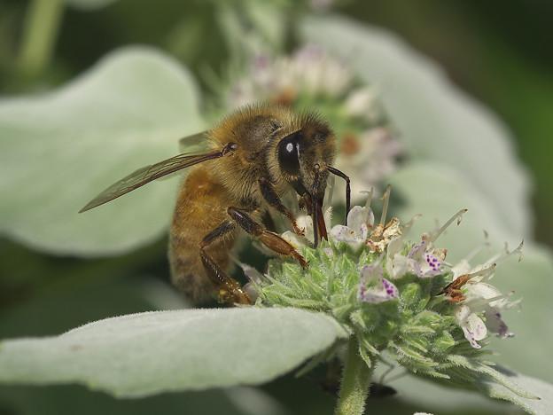 ミツバチ観察