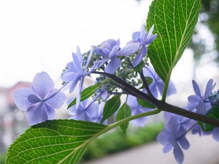 紫陽花10