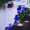 川を下る渡せ舟と夕日に照らせれて紫陽花。。7月11日