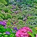賑やかな紫陽花