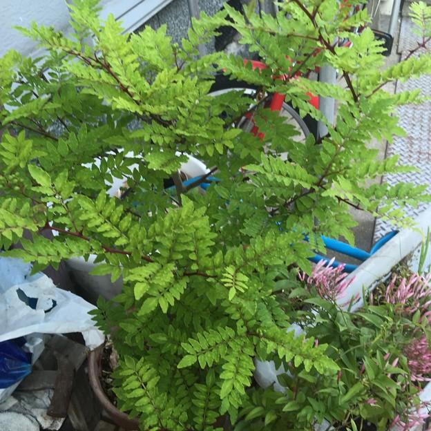 Photos: 親戚からもらった木の芽