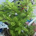 親戚からもらった木の芽
