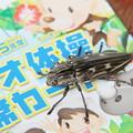 準絶滅危惧昆虫ウバタマムシ桜堤に現る