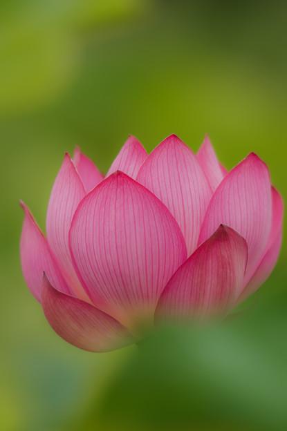 藤井養蜂場の蓮の花♪?
