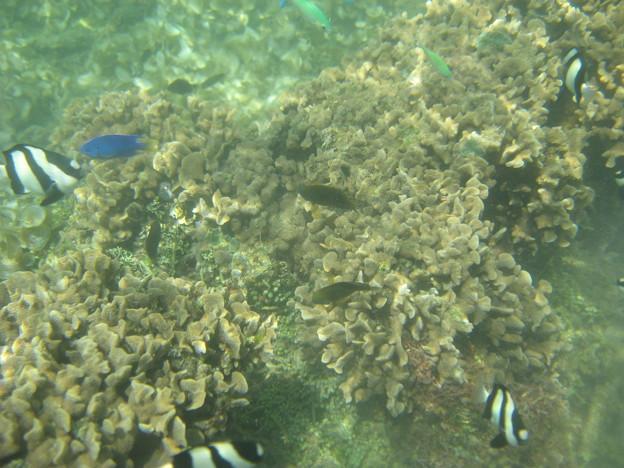 写真: アルパット島近くで熱帯魚その02