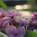 夕暮の紫陽花