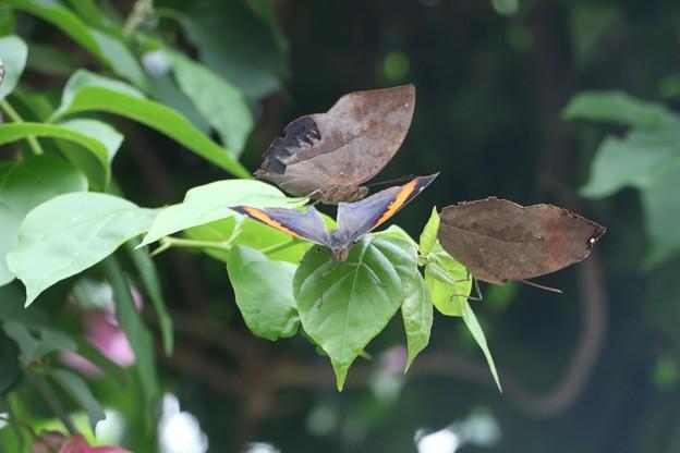 コノハチョウ  翅の表裏
