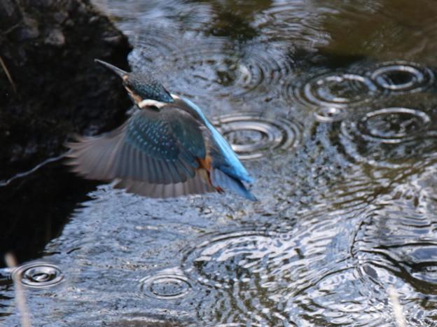 綺麗なカワセミさんの羽根