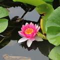 写真: 片倉城跡公園の睡蓮