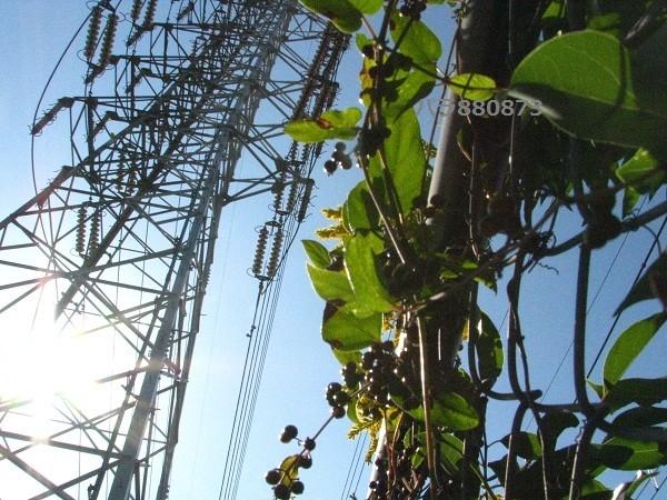 太陽!高圧鉄塔!金網に絡むヘクソカズラの実!