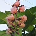 Photos: ピンク種のサガリバナ開花中
