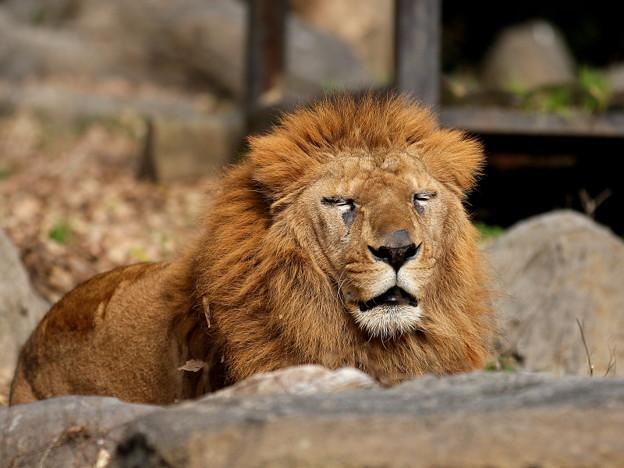 ライオンの居眠り?