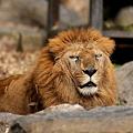 Photos: ライオンの居眠り?