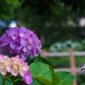 紫陽花さく小路