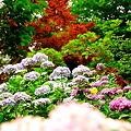 紫陽花と紅葉