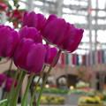 写真: 紫のチューリップ(CI:雅)